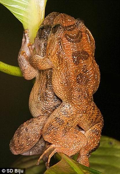 """最新研究显示,印度孟买夜蛙具有一种非常独特的交配姿式,科学家将其描述为""""背部跨坐""""。"""
