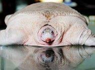 鲜为人知的动物:罕见白龟