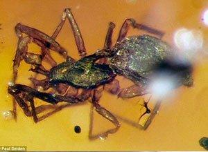 """科学家在9900万年前琥珀中发现""""盔甲蜘蛛"""""""