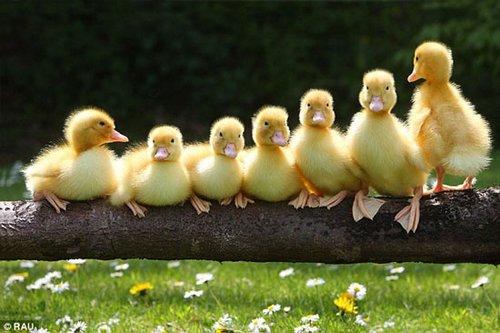 新生小鸭全家福 调皮鬼捣蛋场面逗趣