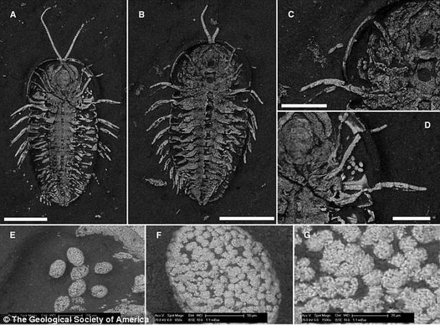 科学家发现5.2亿年前三叶虫头部长生殖器官