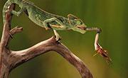 超高黏性唾液在变色龙捕捉猎物中发挥重要作用