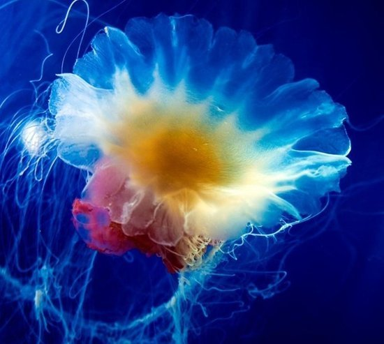 科学家试图揭开水母长生不老的秘诀