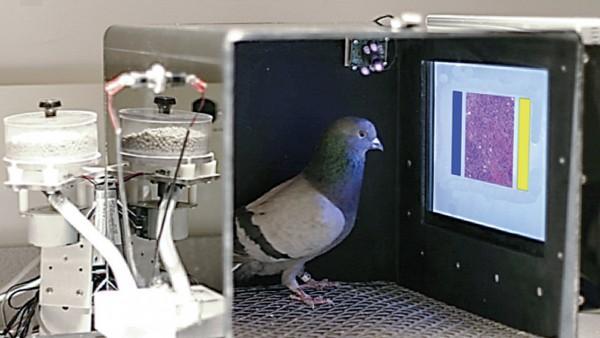 科学家训练鸽子辨识癌症 不输专家