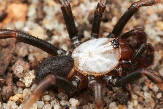 """澳洲发现奇特""""白化蜘蛛"""" 证实为新物种(图)"""