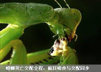 螳螂死亡交配全程