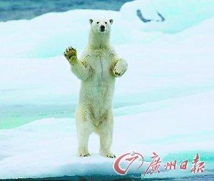 """""""好客""""北极熊见人就挥手 目送游客离开(图)"""