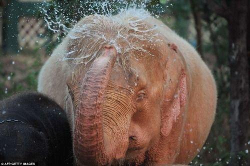 大象毛发呈粉色其实是得了白化病