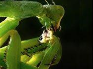 螳螂死亡交配全程 疯狂啃食与交配同步