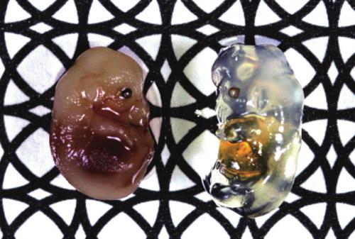 新型试剂能让生物组织变透明