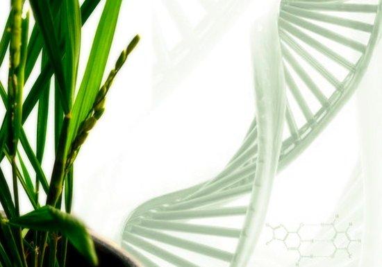 华中农业大学国家重点实验室破译水稻基因