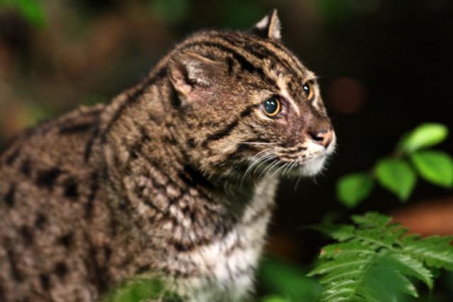 """消失超10年的""""钓鱼猫""""在柬埔寨湿地重现"""