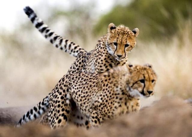 猎豹移动财报解读:转型做内容分发和大数据