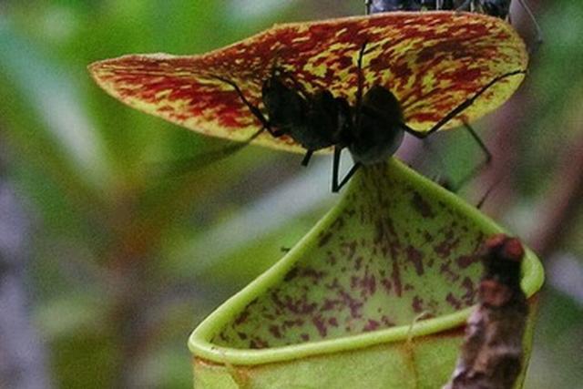 最新研究:猪笼草利用雨滴捕获昆虫猎物