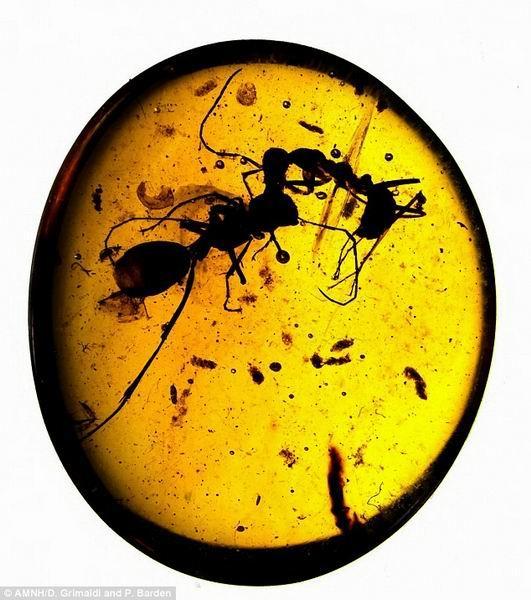 特琥珀中记录了一亿年前两只蚂蚁搏斗情景