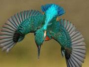 摄影师花六年时间终于拍到翠鸟完美潜水照片