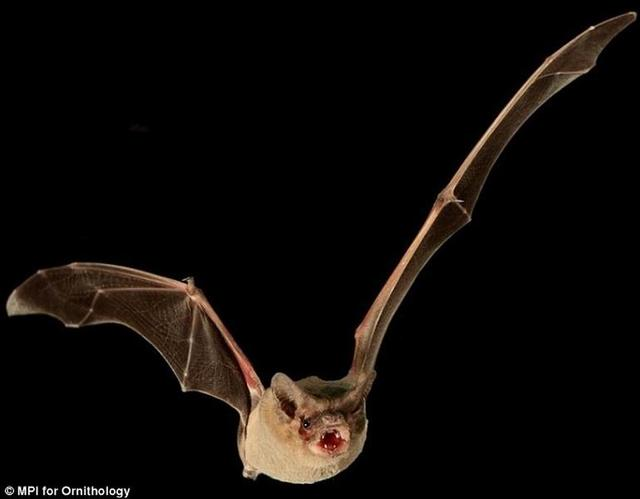 研究发现巴西无尾蝙蝠水平飞行时速160公里