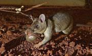坦桑尼亚训练巨鼠探测地雷等金属物