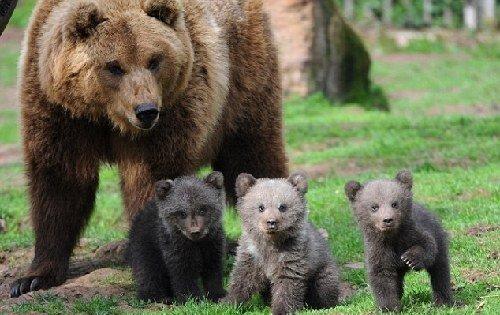 三只棕熊宝宝德国亮相 憨态可掬似泰迪公仔