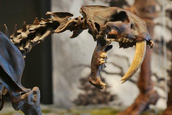 """最新研究称剑齿虎像""""吸血鬼""""吸食猎物血液"""