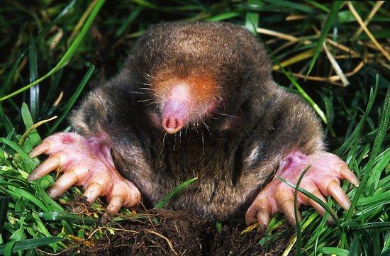 美国最新研究表明鼹鼠的嗅觉具有立体方位感