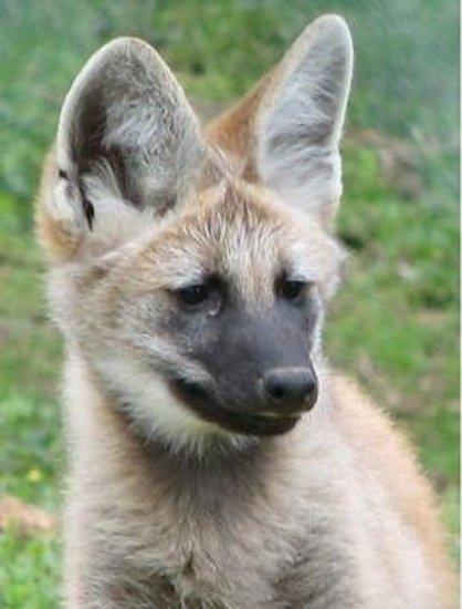 巴西将克隆八种动物以防野外动物灭绝