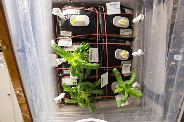 国际空间站发现神秘霉菌感染实验室植物