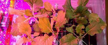 科学家在国际空间站首次成功培育中国小白菜