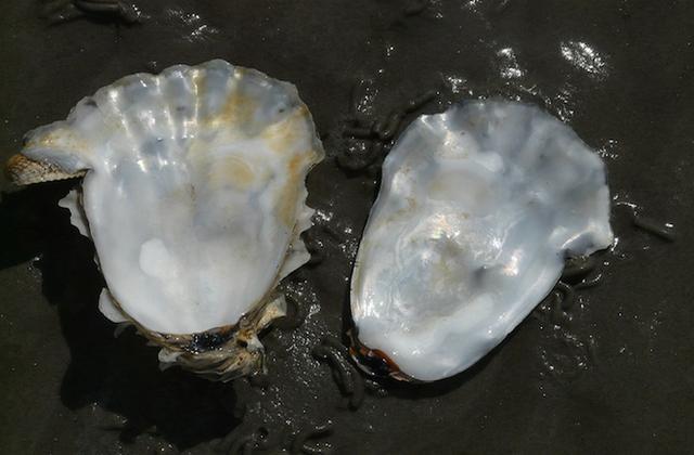 鱼也会利用工具:会把牡蛎壳作为扩音器