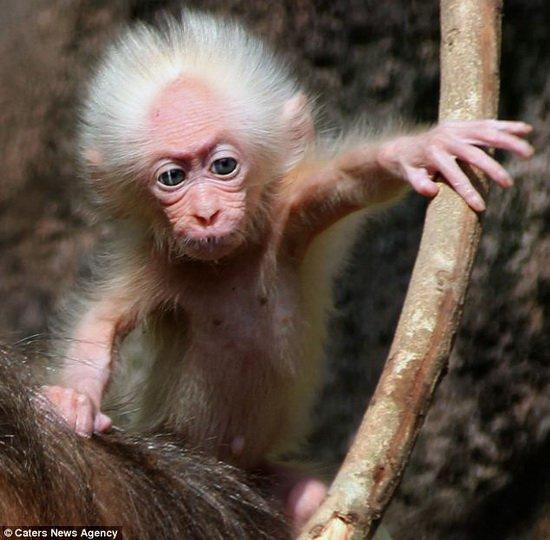 摄影师拍摄到酷似爱因斯坦的猕猴幼仔