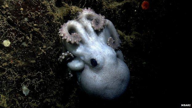 章鱼妈妈禁食四年守护后代 刷新世界记录