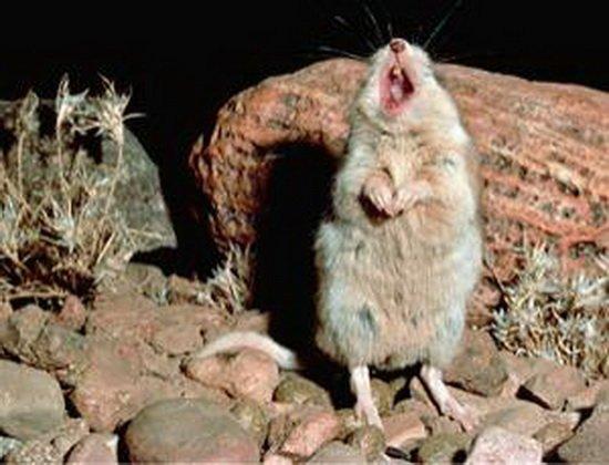 美国沙漠神秘鼠类 残忍吞噬毒蝎之后夜空嗥叫