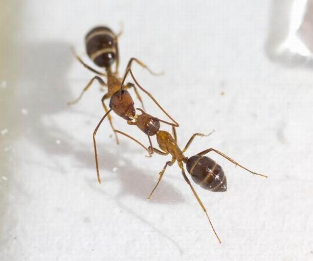 """研究称蚂蚁交哺行为能信息通讯和""""投票"""""""