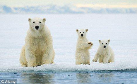 北大西洋仓鼠v仓鼠极地融冰恐将毁灭北极熊瓜子能吃绿暖流么图片
