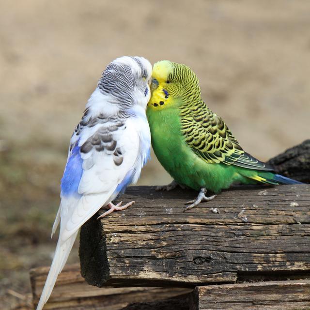 动物也有语言天赋 鸟类能学会抽象的语法结构