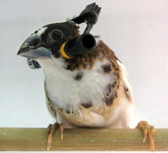 科学家建立统计模型解答鸟类如何咿呀学语