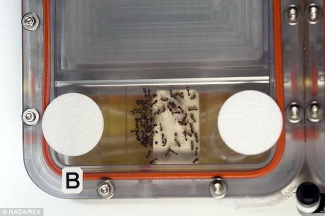 美国宇航局在空间站对蚂蚁的行为进行实验