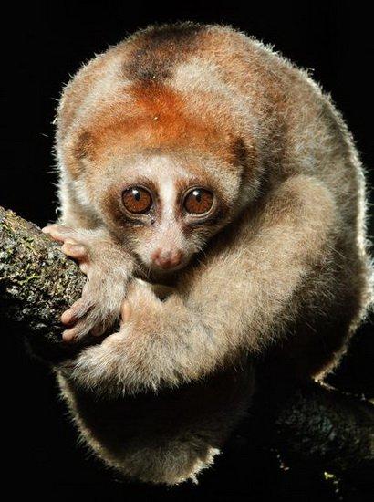 科学家在婆罗洲发现一种毒性蜂猴新物种(图)