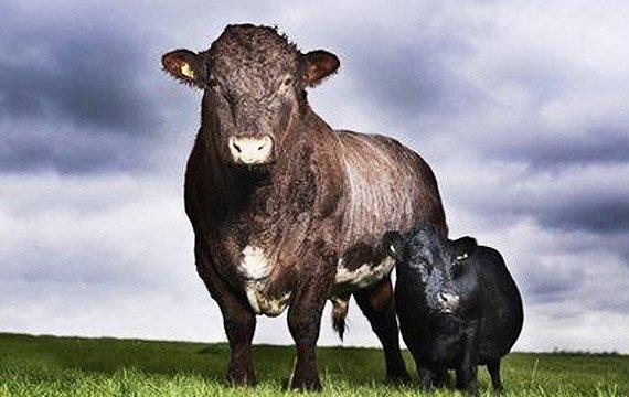 世界上最小的牛