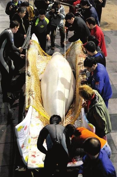 极地白鲸空降北京 俄罗斯专机送进京倍受礼遇