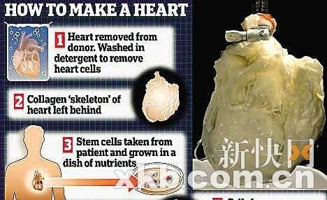 美用干细胞制造出幽灵心脏 演绎死心复活奇迹