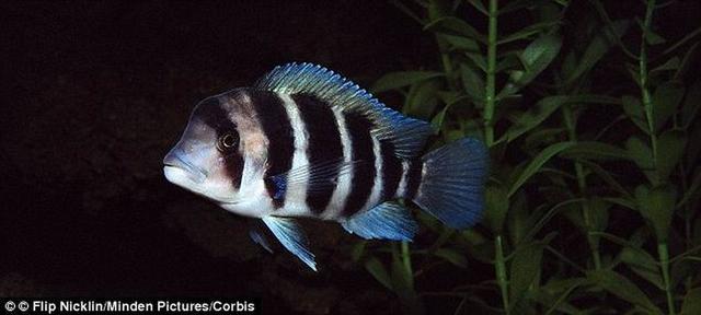 鱼的记忆能力并不差 能记住12天的内容