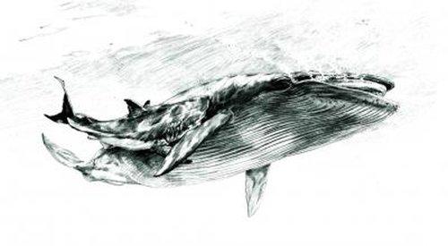 蓝鲸的身体结构