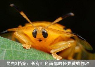 昆虫X档案:怪异黄蜂物种