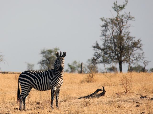科学家:生存环境迫使斑马野性难驯