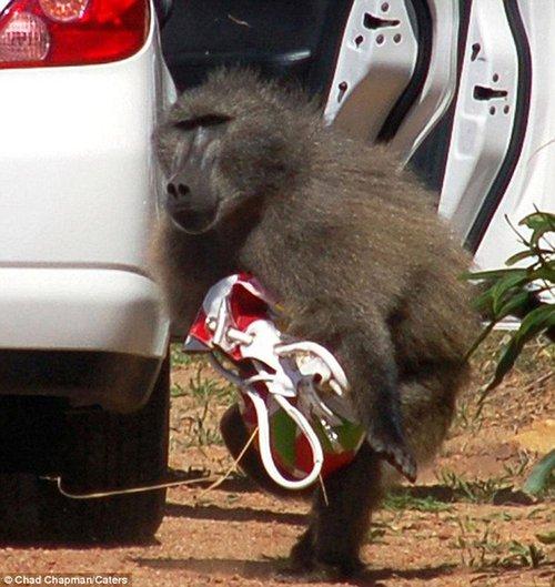 """南非狒狒拉开车门""""行窃"""" 偷走游客手提包"""