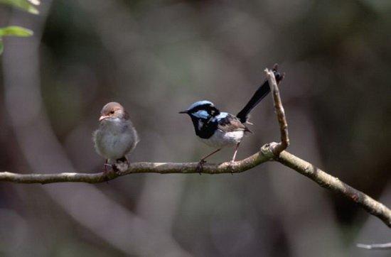 澳细尾鹩莺胎教语音密码 可区分入侵杜鹃幼鸟