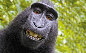 印尼猕猴捡到相机大摆造型自拍