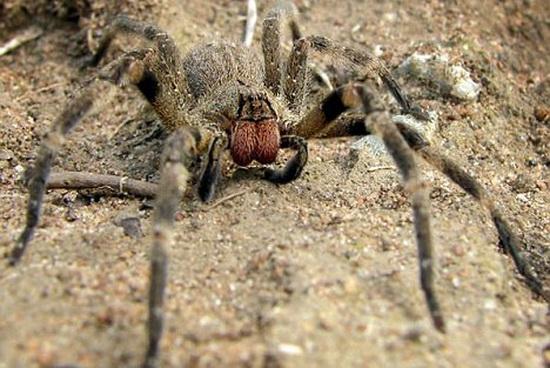 科学家研究发现:蜘蛛毒液对男性阳痿有疗效