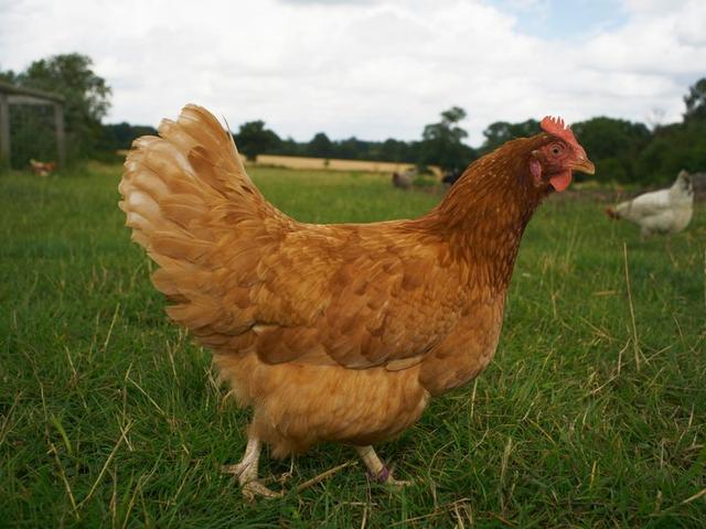 科学家发现家鸡起源于一万年前中国